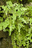 Capillus-veneris do Adiantum, samambaia de maidenhair do sul, Fotos de Stock