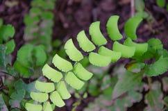 Capillus-veneris negros del Adiantum de la rama del helecho de Maidenhair Fotografía de archivo libre de regalías
