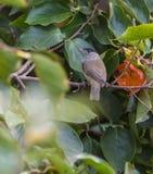 Capinera maschio che mangia una frutta del cachi Immagine Stock Libera da Diritti
