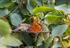 Capinera maschio che mangia una frutta del cachi Fotografia Stock