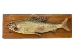 Capital Grayling. dried on wood, Taxidermy Stock Photography