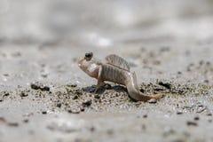 Capitano del fango nell'ambito di sole Fotografie Stock