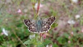 Capitano a quadretti bianco della farfalla Immagine Stock Libera da Diritti