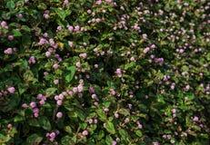 Capitata Persicaria - розовый полевой цветок засорителя узла Стоковая Фотография