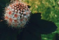 Capitatus de Physocarpus Fotografia de Stock