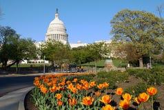 Capitolio y tulipanes de los E.E.U.U. Fotos de archivo