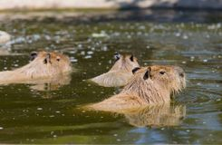 Capivara photographie stock