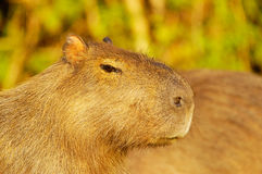 Capivara (Hydrochaeris hydrochaeris). Is the biggest rodent in the world royalty free stock photo
