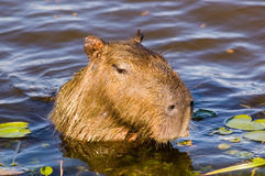 Capivara in Ibera, Argentina. Capivara, the world´s largest rodent, in Ibera swamp, Argentina Royalty Free Stock Photo