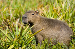 Capivara in Ibera, Argentina. Capivara, the world´s largest rodent, in Ibera swamp, Argentina Royalty Free Stock Images