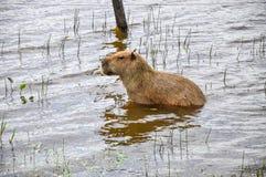 Capivara im Wasser, Pantanal (Brasilien) Lizenzfreies Stockbild