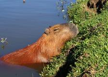 Great Brazilian rodent Capivara sleeping in ravine Royalty Free Stock Photo