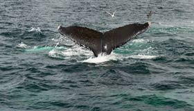 Capo Cod, balena che si tuffa il mare Fotografia Stock Libera da Diritti