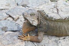 Capo e spalle di un'iguana dello sbarco Fotografia Stock Libera da Diritti