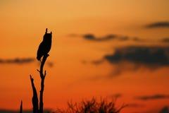 Capo Eagle Owl Sunset Fotografia Stock