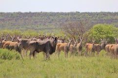 Capo Eland - antilope africana 2 Fotografia Stock Libera da Diritti