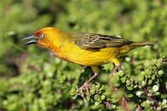 Capo giallo Weaver Bird Fotografia Stock Libera da Diritti
