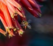 Capo Honey Bee Immagine Stock