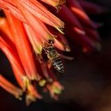 Capo Honey Bee Immagine Stock Libera da Diritti
