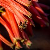 Capo Honey Bee Fotografie Stock Libere da Diritti