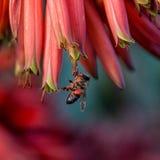 Capo Honey Bee Fotografia Stock