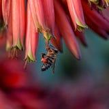 Capo Honey Bee Immagini Stock Libere da Diritti