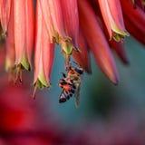Capo Honey Bee Fotografia Stock Libera da Diritti