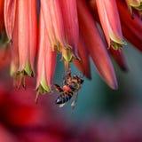 Capo Honey Bee Fotografie Stock