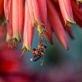 Capo Honey Bee Immagini Stock