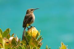 Capo Sugarbird Fotografia Stock Libera da Diritti