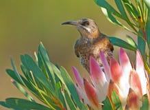 Capo Sugarbird Fotografie Stock Libere da Diritti