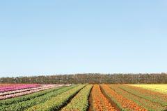 Capo Tasmania della Tabella dei tulipani Fotografia Stock