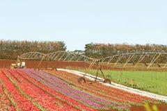 Capo Tasmania della Tabella dei tulipani Fotografia Stock Libera da Diritti