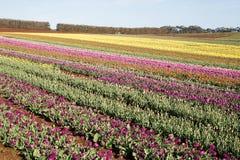 Capo Tasmania della Tabella dei tulipani Immagini Stock