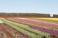 Capo Tasmania della Tabella dei tulipani Fotografie Stock Libere da Diritti