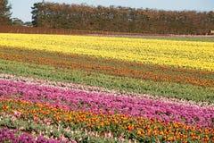 Capo Tasmania della Tabella dei tulipani Immagine Stock