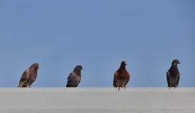 Capoeira dos pombos no telhado de telha da construção com espaço do céu azul acima Fotografia de Stock