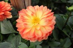 Capolino in arancia immagine stock