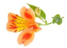 Capolino arancio di Alstroemeria Fotografia Stock Libera da Diritti