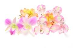 Capolino di alstroemeria ed orchidea in un fondo bianco Fotografie Stock Libere da Diritti
