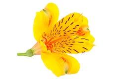 Capolino giallo di Alstroemeria Fotografie Stock Libere da Diritti