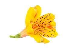 Capolino giallo di Alstroemeria Immagini Stock