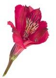 Capolino rosso di Alstroemeria Immagini Stock