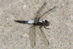 caporal Craie-affronté Dragonfly photo libre de droits