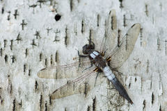 Caporal Dragonfly Ladona Julia images stock