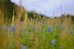 Capos azules en un campo Imagen de archivo libre de regalías