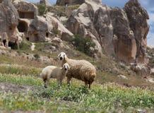 Cappadocia de las ovejas y del cordero Foto de archivo libre de regalías