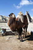 Camel in Cappadocia Fairy Chimney Landscape, Travel Turkey Stock Photo