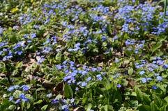 Cappadocica de Omphalodes - flor azul adiantada da mola fotos de stock