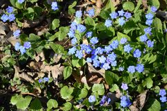 Cappadocica de Omphalodes - flor azul adiantada da mola imagem de stock royalty free